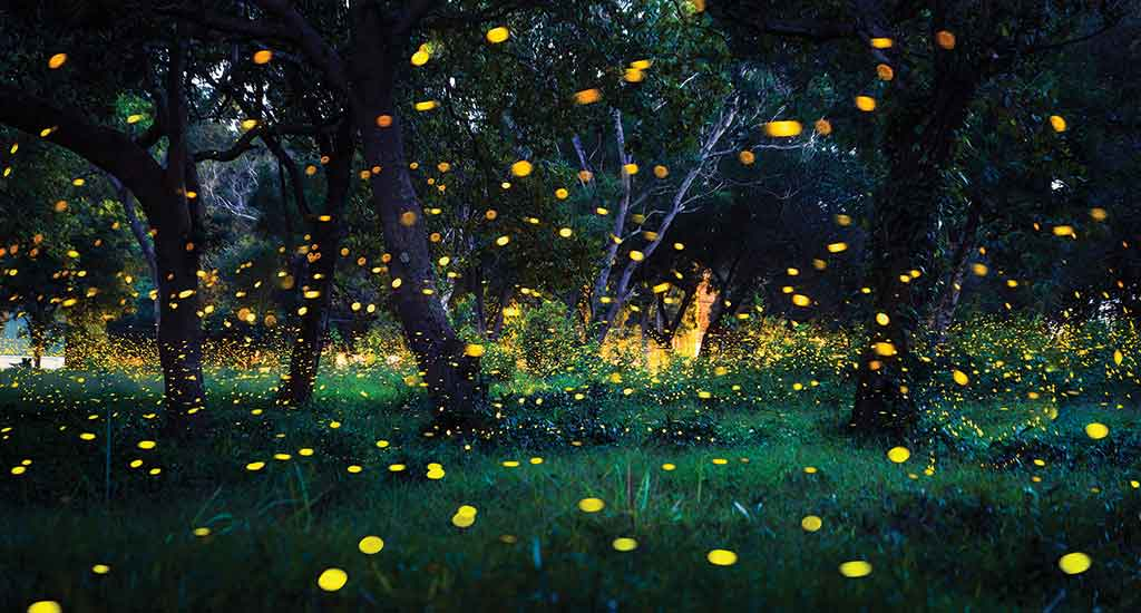 Fireflies in Koh Chang, Thailand