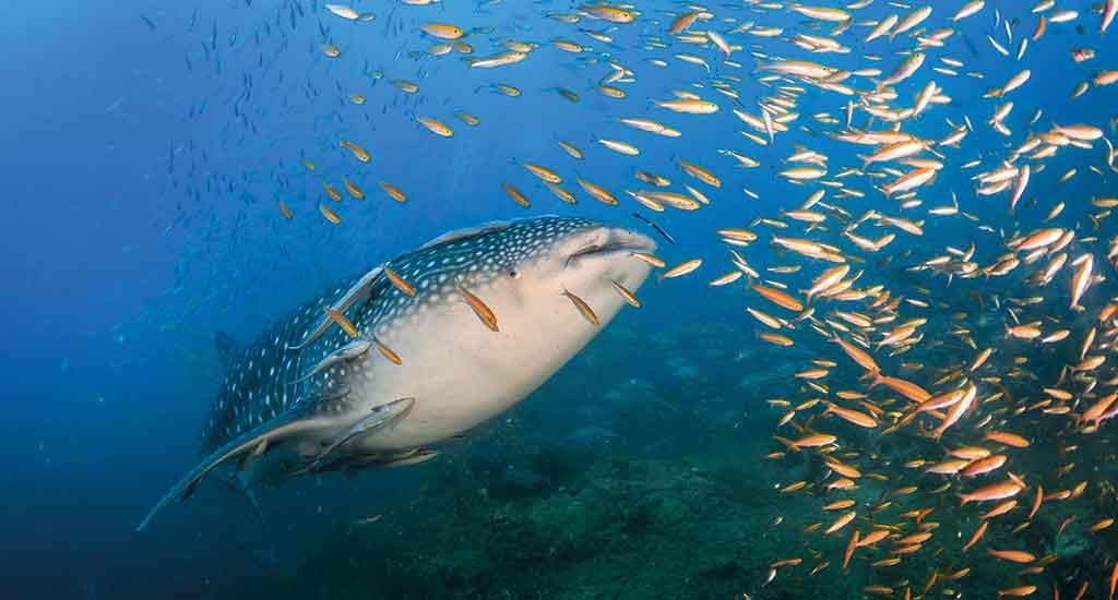 Whaleshark in Koh Phangan