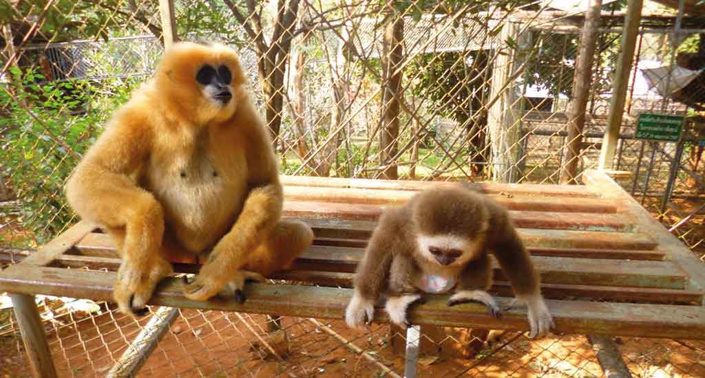 Gibbons at Highlands Farm sanctuary
